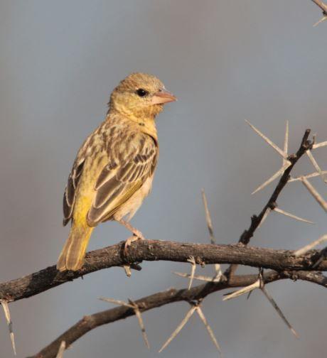 Bontrugwewer wyfie (Village Weaver) Mabalingwe, Bela Bela, South Africa