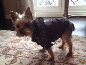 Vu sur Twitter : Le chien de Serena Williams habillé contre la pluie de Paris http://www.africatopsports.com/2013/05/31/vu-sur-twitter-le-chien-de-serena-williams-pare-contre-la-pluie-de-paris/