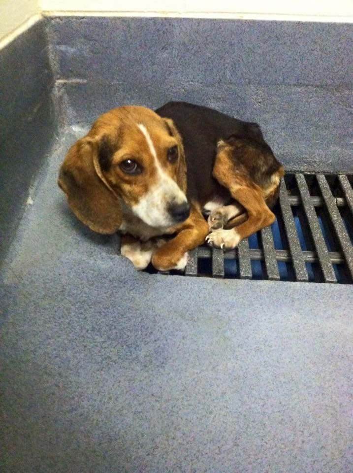 160 Best Images About Lost And Found Beagles Bassets Hounds On Pinterest Beagles Lost And
