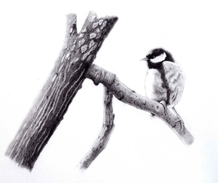 tit on branch - graphite pencils drawing