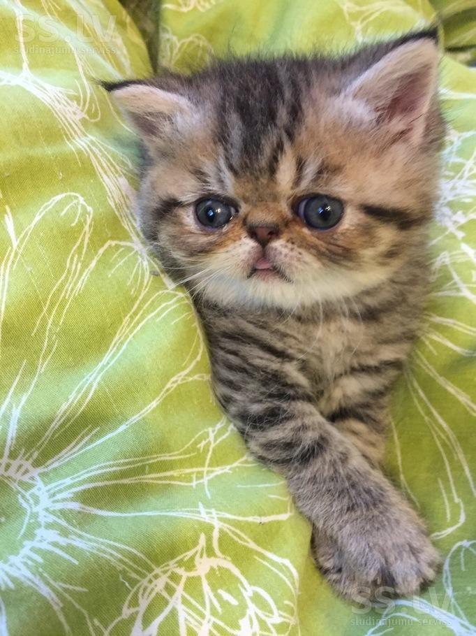 SS.lv Кошки, котята - Экзотическая короткошерстная, Цена 150 €. Продам очаровательного очень ласкового фото почту телефон) черепахового - Объявления