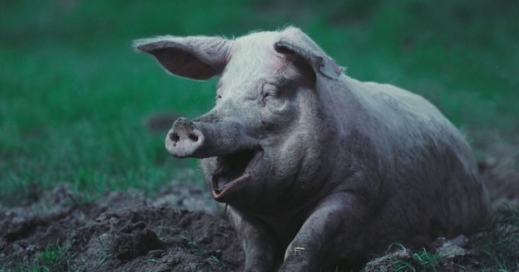 Como curar carne de porco crua. O processo de cura serve para prolongar a validade da carne de porco, adicionando a ela conservantes como sal, nitrato de potássio, açúcar e outros condimentos. As soluções de cura seca e molhada são possíveis, mas o método mais utilizado é uma cura molhada em uma solução de salmoura, de acordo com o Food Safety and Inspection Service of the ...