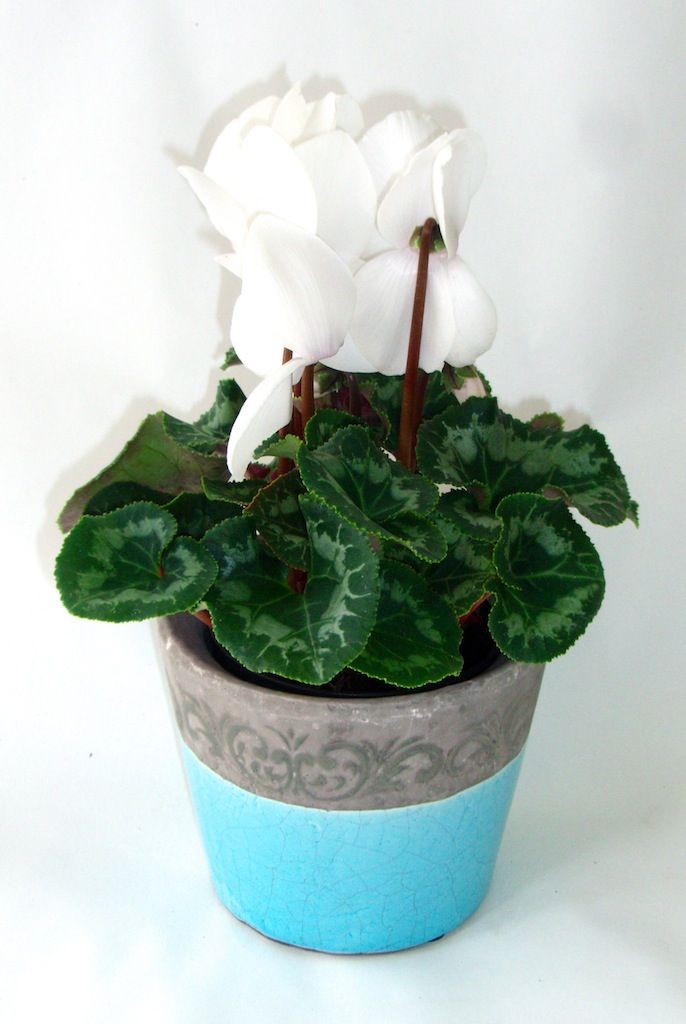 Hawkesburn - heavy stoneware ceramic with stone coloured border fantastic with flowering cyclamen just gorgeous as a table centrepiece at your wedding! www.summerhillnurseries.com.au