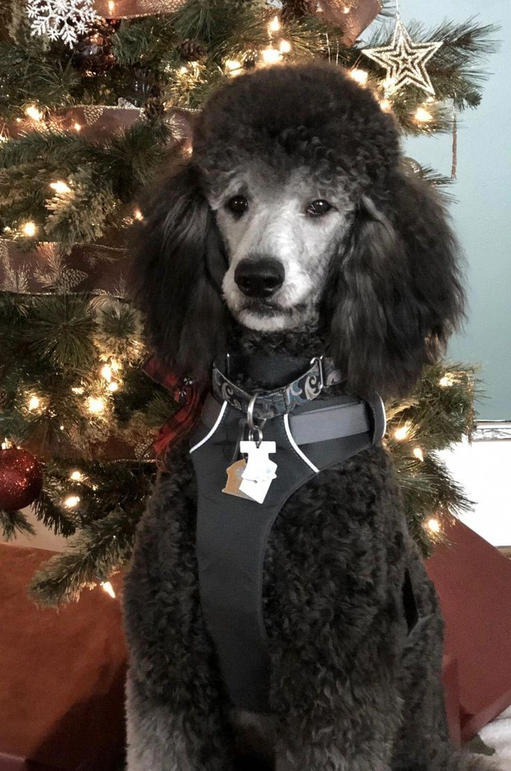 Pin by Sue Johnson on Poodles Poodle puppy, Poodle puppy