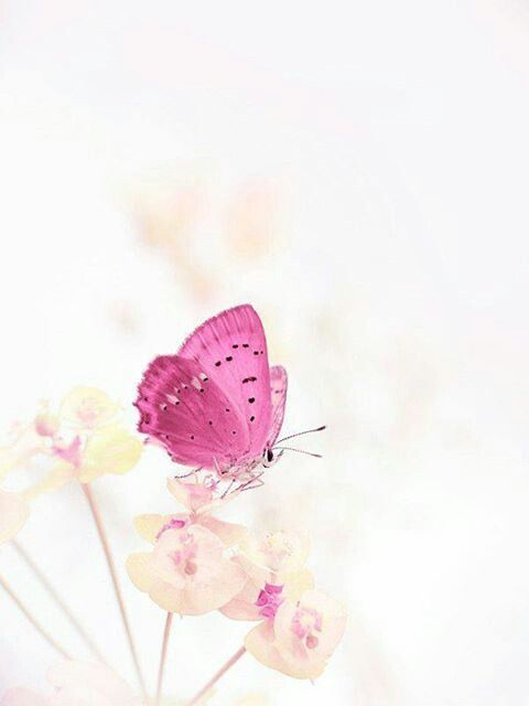 Pink and white composition,with butterfly