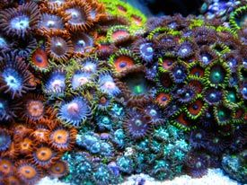 Large rock covered in a range of colourful zoas!