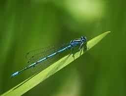 A blue damselfly captured with the best Canon macro lens - the EF100mm f2.8L IS USM. If you want to capture great macro and close up photos this is the lens to do it with.