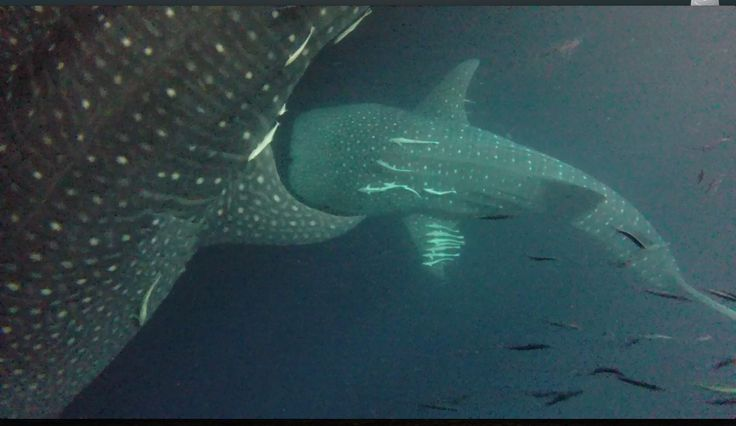 21-02-2015-AWESOME EVENING FOR DUKE OF YORK COSTUMERS:4 WHALE SHARK CATCHING PLANCTON BEHIND THE BOAT.!!