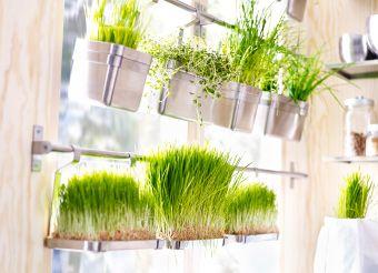 IKEA Stangen vor einem Fenster, daran befestigt Behälter mit Weizengras.