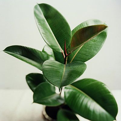 Low-light houseplant : rubber plant (Ficus elastica)