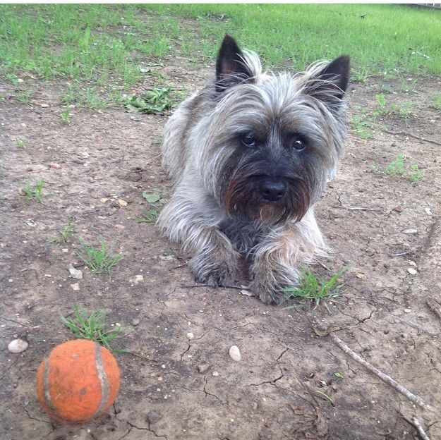 Simple Cairn Terrier Ball Adorable Dog - 62d56fd5ac19fb5e17f106c4bc08c25f--tossed-chopper  Graphic_383466  .jpg