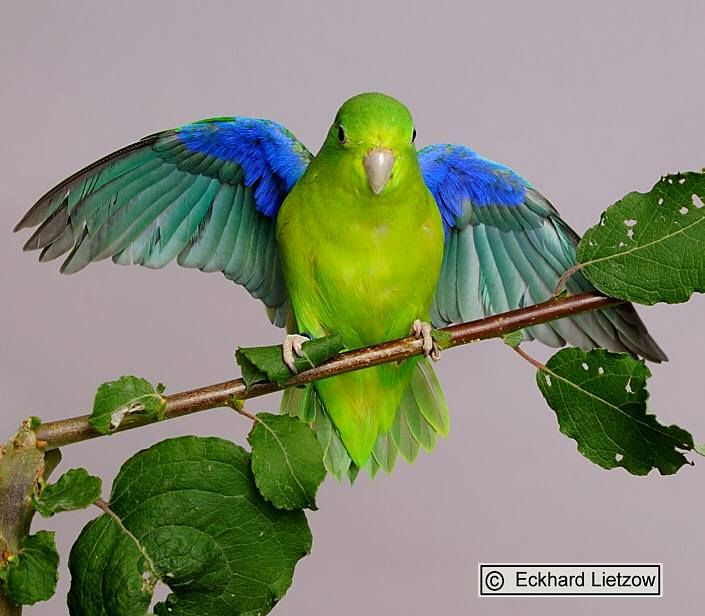 Illiger's Macaw (Blue-Winged Macaw)