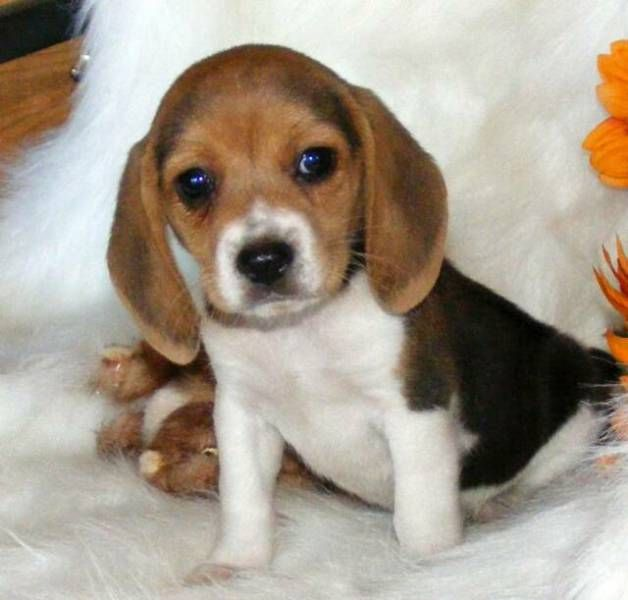 pocket Beagle- so cute!  How could my husband say no to this.  hehehe