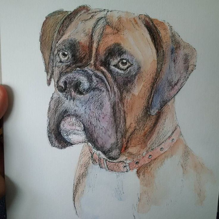 Another #workinprogress for @henry0410 of Henry the #regal #boxer! See more at http://tclausen.net  #drawing #drawmypet #drawings #doggie #dogstagram #dogsofinstagram #twitter #portrait #pen #ink #art #commission #dogoftheday