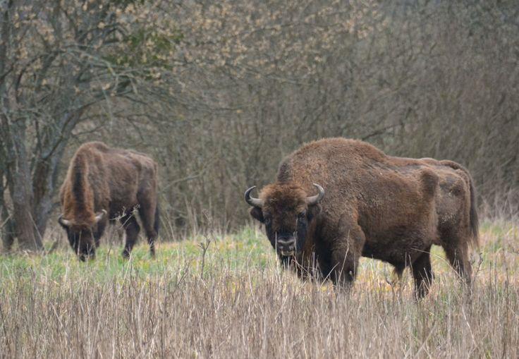 European bison (two males), Bialowieza, Poland.  #bison #visent #wisent #Bialowieza #WildPoland #EuropeanWildlife #HenryRasmussen