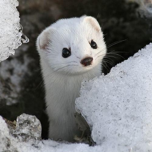 Animales Blancos: comadreja blanca