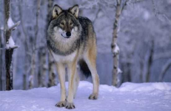 Top 10 Little-Known Facts About Wolves - Listverse http://listverse.com/2012/04/14/top-10-little-known-facts-about-wolves/