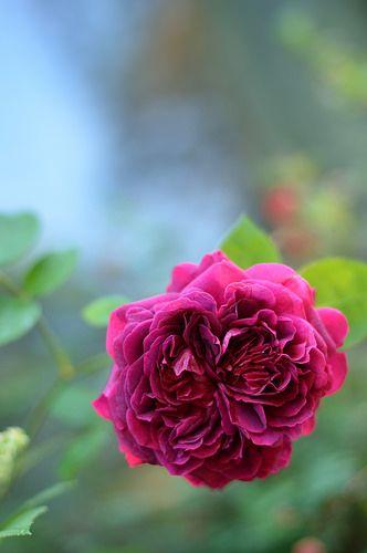 Crimson rose | Rosa 'William Shakespeare 2000'