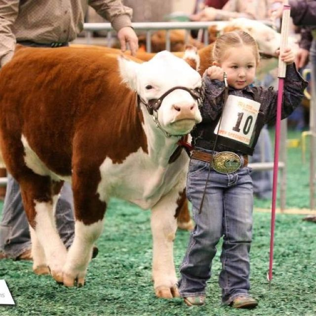 This is why I think mini Herefords are so cute: because little cuties like this can show them!!!