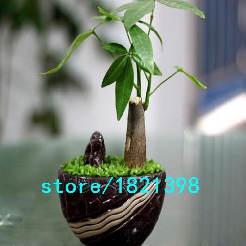 Hot Sale Pachira Money Tree Plant Seeds Potted Seeds Pachira Macrocarpa Seeds 10 PCS/pack Free shipping