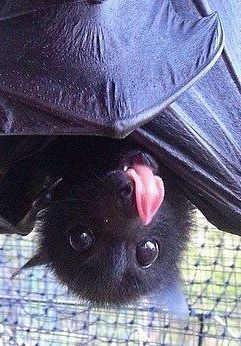 If you still hate bats- how could you not see this precious as a unique help to the cycle of so many thingsl! They help control insects, provide fertilizer, help spread plants' seeds..