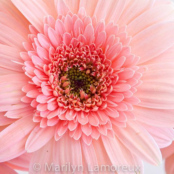Fine Art Photograph  Flower Photography  Pink by ChasedByBeauty