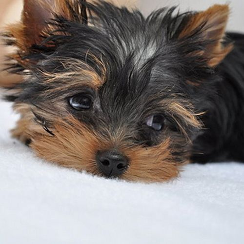 I Raise Yorkie Babies From Tiny & Petite to T-Cup !   850-326-0486