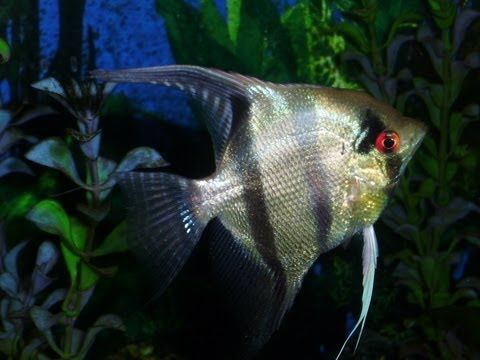 How to Breed Angelfish | Spawning | Feeding, Fry Care