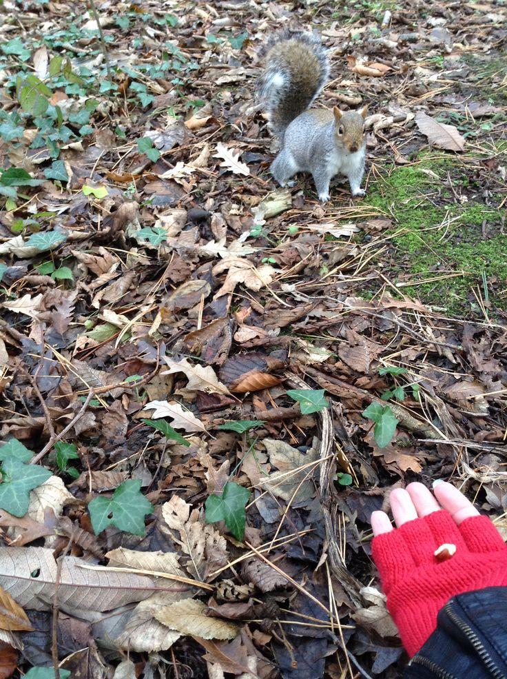 Friendly squirrels in Tehidy woodlands, Cornwall