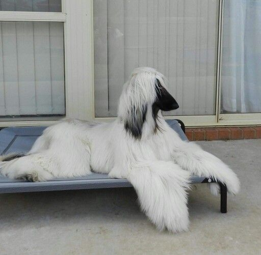 Silver Afghan Hound with a black mask.