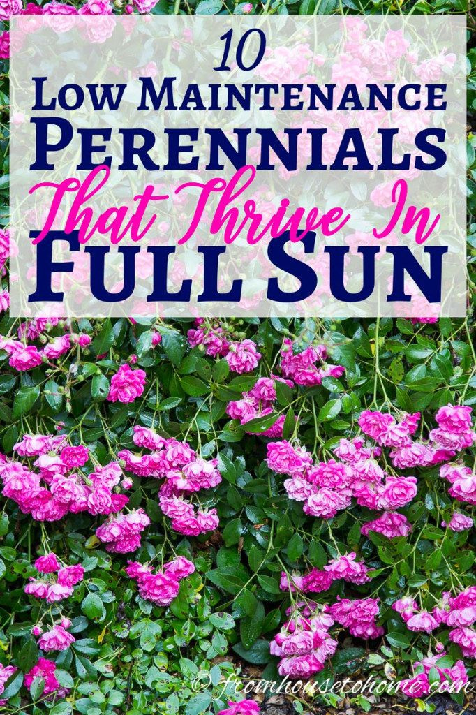 Full sun perennials 10 beautiful low maintenance plants for Landscape plants for full sun