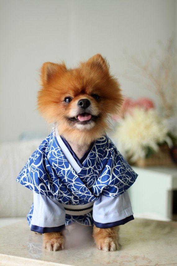 Japanese Kimono Dog Costume Blue Almost Out High