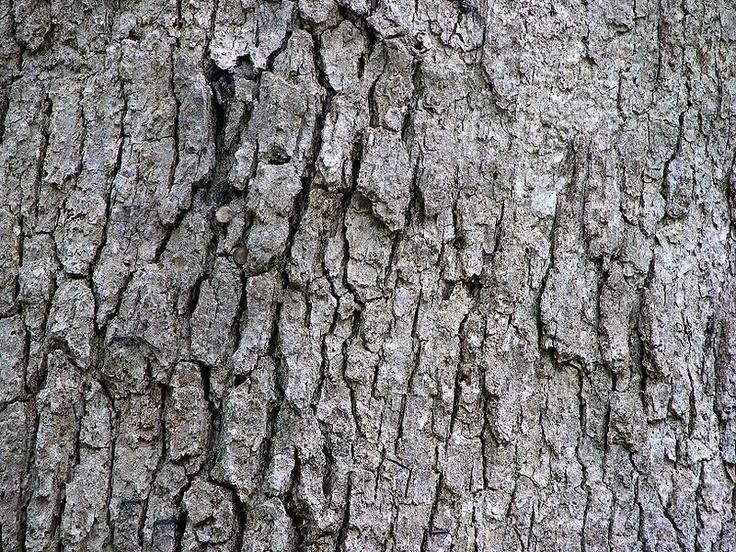 White Oak tree bark