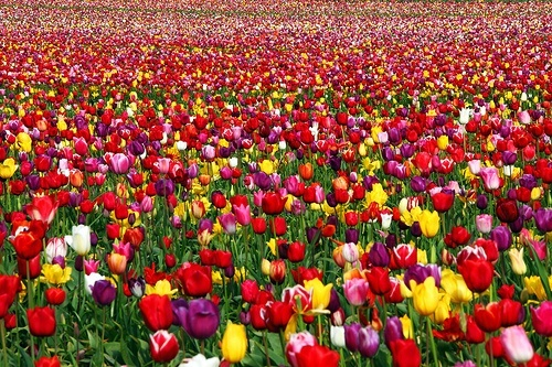 A lovely array of beautiful tulips...