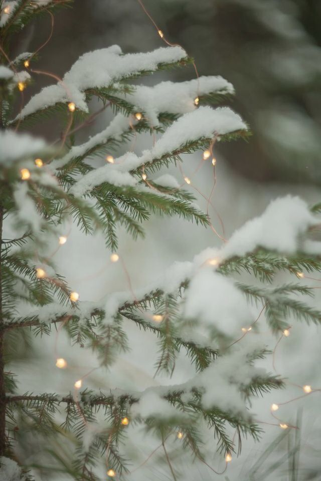 Snowy Pine Tree Branch Decorated With Christmas Lights