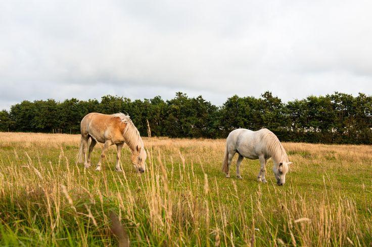 En grovfoderanalyse kan være nødvendigt for heste med EMS eller PPID.