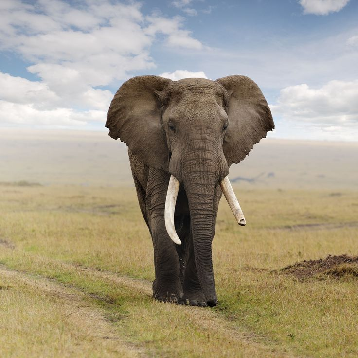 A full-sized elephant can lift objects of around 500 pounds with only its trunk.