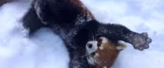 These Red Pandas From The Cincinnati Zoo Are SO Excited About The Snow