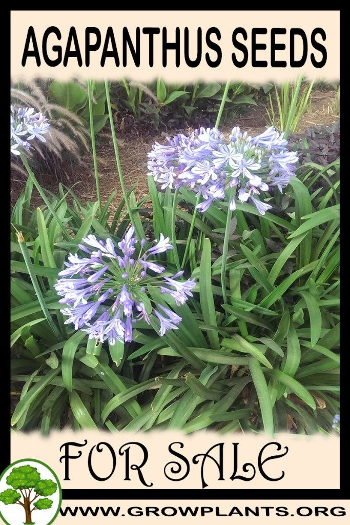 Agapanthus Seeds For Sale Plants Seeds For Sale Easy Plants To Grow