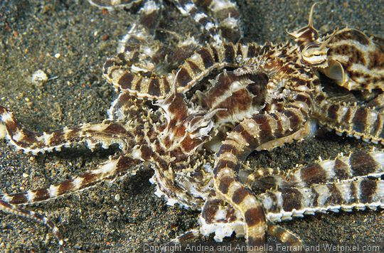 Andrea and Antonella Ferrari photograph pair of mating mimic octopus :: Wetpixel.com