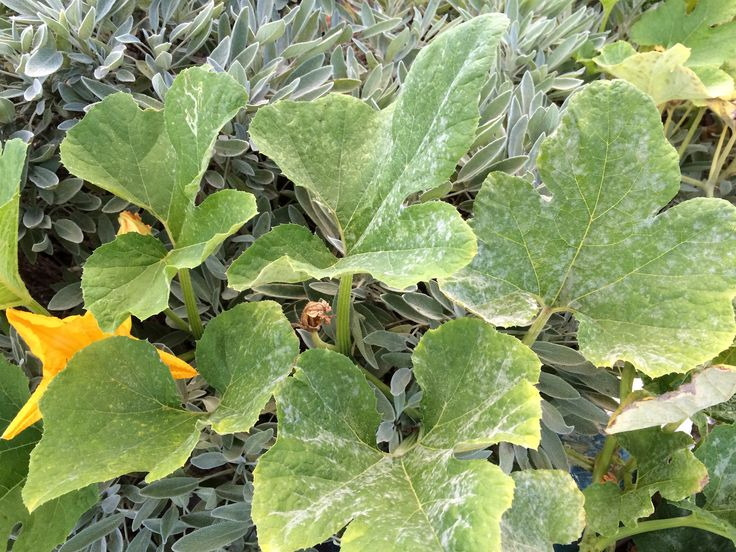It is not uncommon for squash leaves to have powdery mildew but as it affects yield, how can you go about treating powdery mildew in squash? This article will help with the prevention and treatment of powdery mildew on squash.