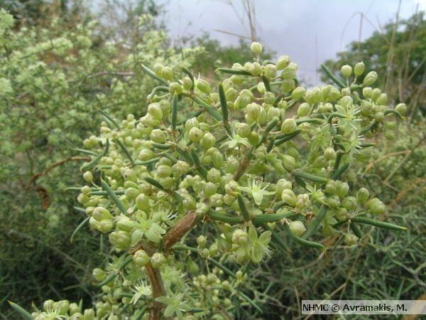 Άγριο Σπαράγγι, Asparagus aphyllus, άνθη | Μουσείο Φυσικής Ιστορίας Κρήτης
