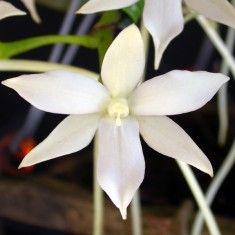 Orchidées botaniques non fleuries : Orchidées Vacherot & Lecoufle - vente orchidées non fleuries