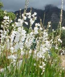 Watsonia marginata (White form)
