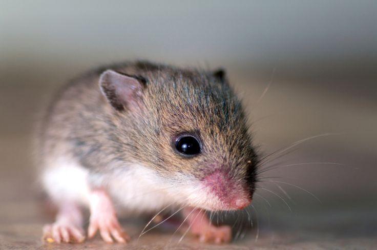 CRISPR-Cas9ゲノム編集でマウスのHIVウィルス除去に成功