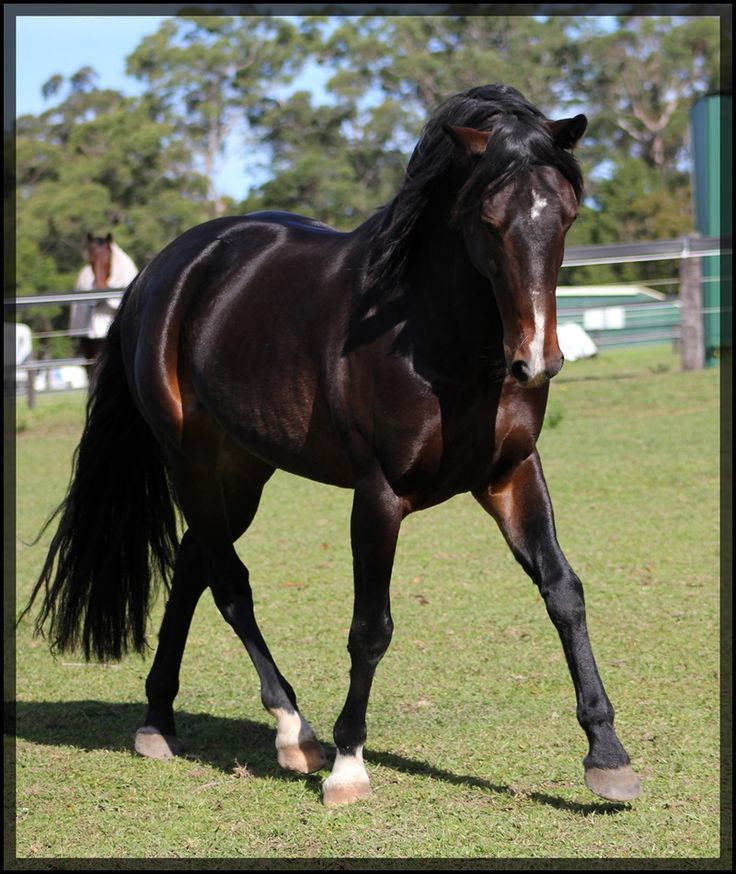 Waler (Australian Stock Horse) Unbelievable Beauty