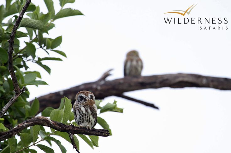 Kings Pool Camp - Birding is outstanding at Kings Pool Camp: with the Linyanti Concession an internationally recognised Important Bird Area (IBA). #Safari #Africa #Botswana #WildernessSafaris