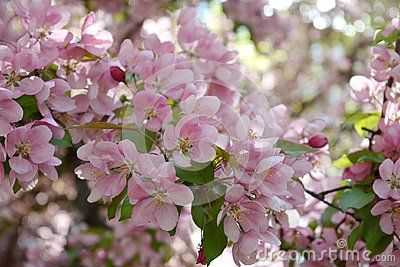 Blooming decorative apple tree. Pink flowers in spring day.