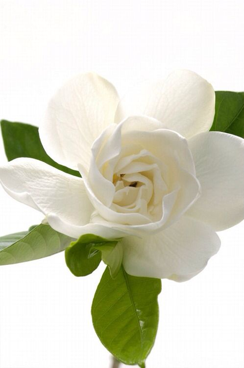 177 best images about Gardenias and Poppies on Pinterest