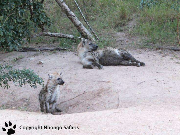 Hyena's 2